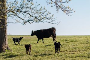 Cow and 3 calves in a field.